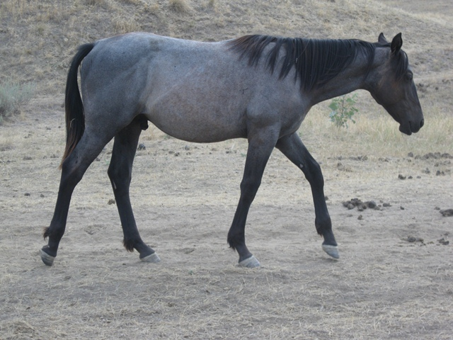 Blue Roan Stallion, Mr Roan Hancock and Bar U Champ Binder.