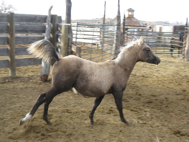 2001 palomino filly out of New Holly Rose, Hollywood Gold and Royal King.