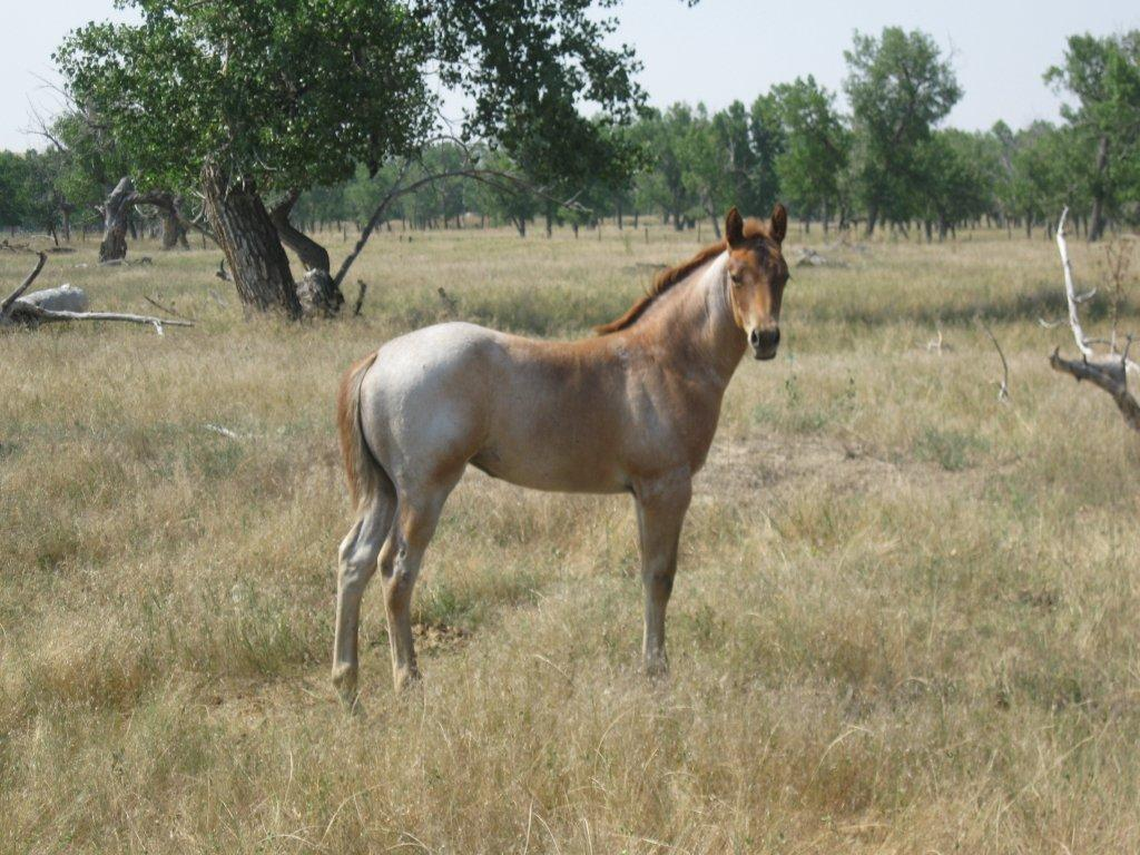 2014 Conchos Filly