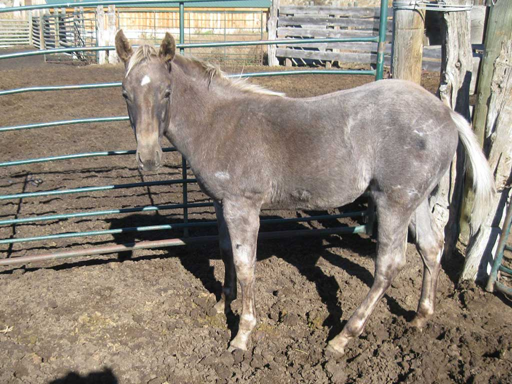 2018 Blue Apache Diamond Blue Roan Silver Dapple  Stallion