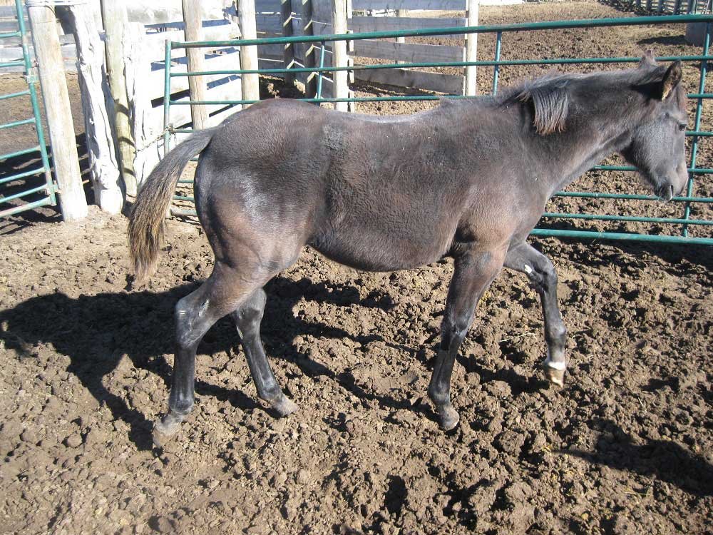 2018 PR Hollywood Eclipse Blue Roan Filly