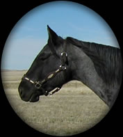 POWDER  RIVER  JUNIPER  HANCOCK BLUE ROAN  QUARTER HORSE