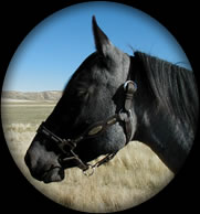 BLUE APACHE DIAMOND HANCOCK BLUE ROAN  QUARTER HORSE