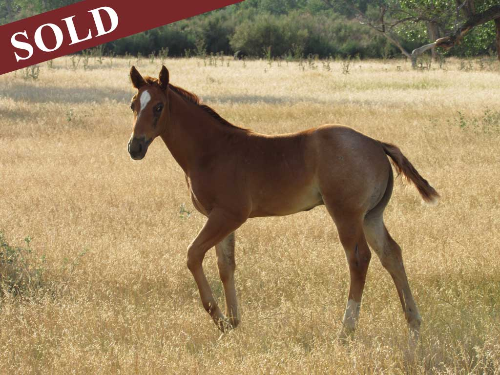 2017 Crimson Blue Hancock red roan stallion