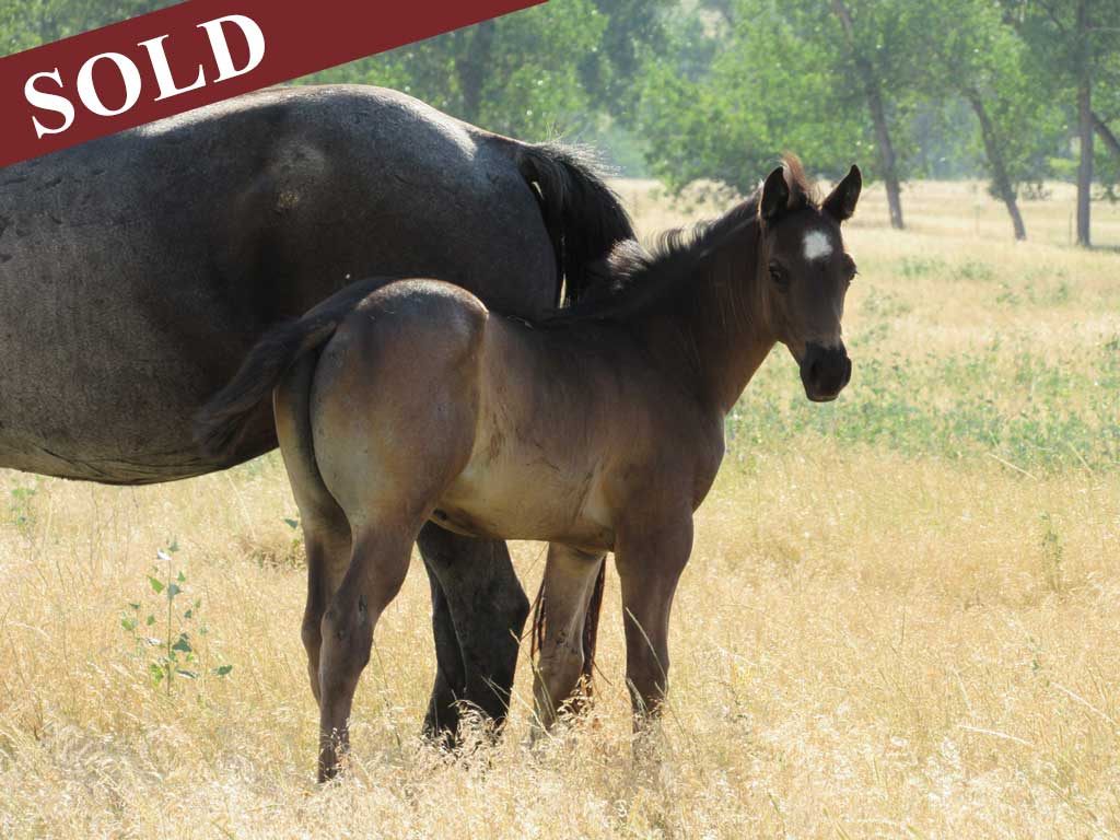 2017 Nevada Roan Hancock blue roan stallion