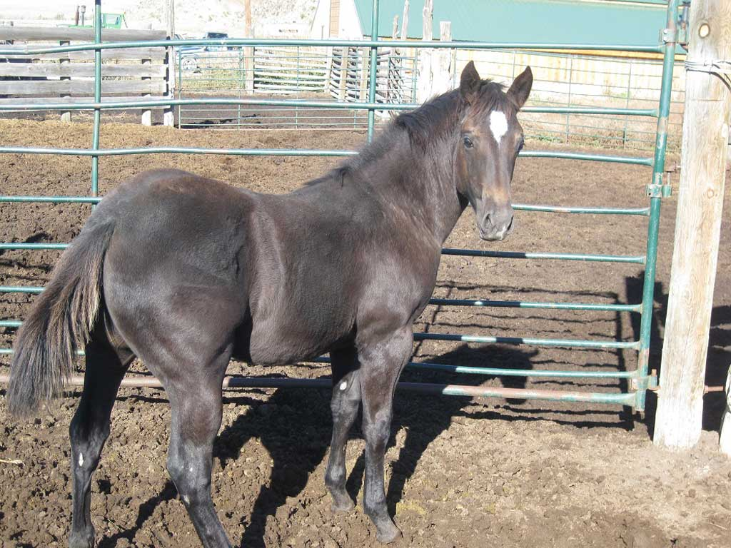 2018 Onex Hancock Blue Roan Filly