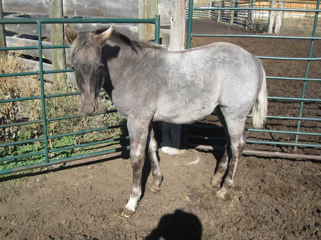 2018 Valentine Raiders Blue Roan Silver Stallion